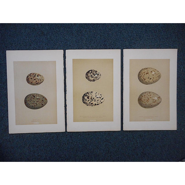 These 19th century hand colored lithographs depict varieties of birds' eggs. They are printed on one side only. Please...