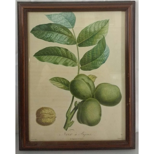 French Botanical Fruit Prints - A Pair - Image 6 of 9