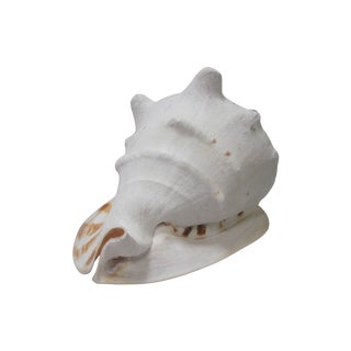 White Conch Shell For Sale