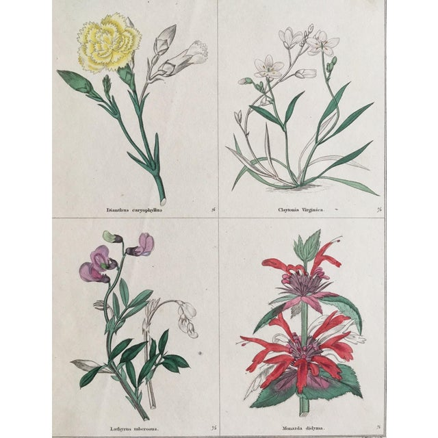 Botanical plate from The Botanical Garden by Benjamin Maund (1790 - 1863) Pharmacist, Botanist and Publisher. Hand colored...