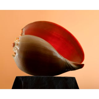 """""""Seashell Portrait With Orange Background"""" Contemporary Photograph by John Manno For Sale"""