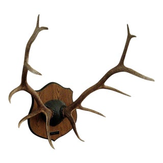 Monumental Antler Mount on Wood Plaque For Sale