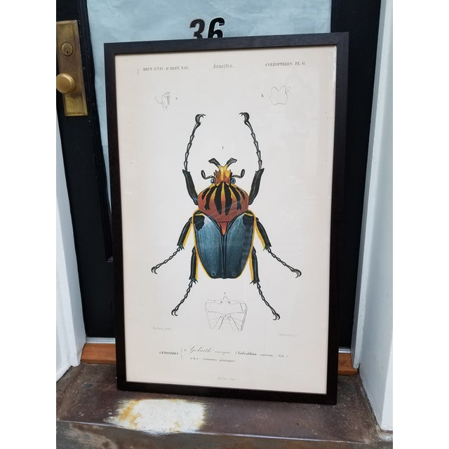"Paper Vintage Colored French Beetle Print ""Goliath Cacique"" in Black Frame For Sale - Image 7 of 7"