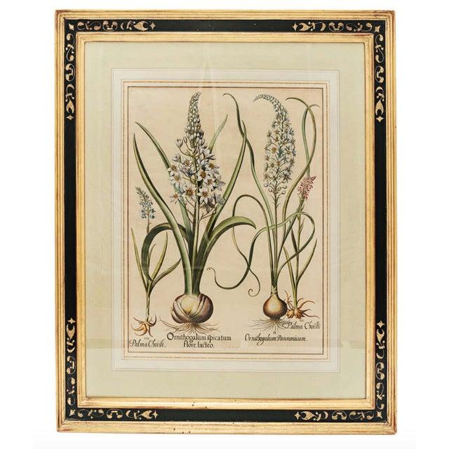 "Metal 17th Century Basil Besler ""Ornithogalum Spicatum"" Botanical Print For Sale - Image 7 of 7"