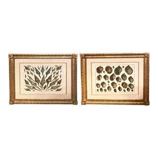 18th Century Albertus Seba Shell Engravings - A Pair For Sale