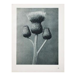 Karl Blossfeldt Photogravure N 86-85, 1935
