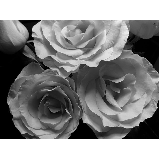 "Blooming Roses in Black and White. Original photograph by Louise Weinberg. Please respect my copyright. Printed 16 x 12""..."