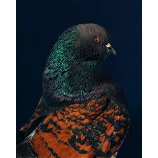 "Contemporary Limited Edition Black Modena Bronze Shield Pigeon by Brendan Burden (32x40"") For Sale"