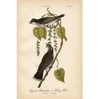 King Bird, 1880s Lithograph For Sale