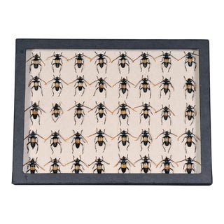 Black Beetles Collection Box For Sale