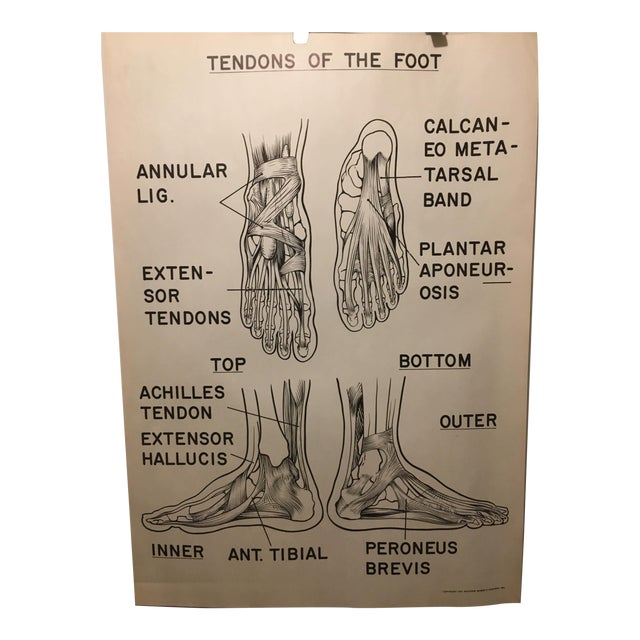 1961 Vintage Tendons of the Foot Courtroom Anatomy Chart For Sale
