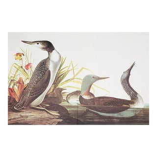 1960s Cottage Style Lithograph of a Red Throated Diver by John James Audubon