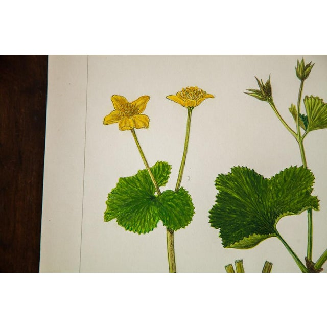 R.H. Greeley Marsh Marigold Botanical Watercolor For Sale - Image 4 of 5