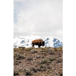 """""""Lone Bison in the Tetons"""" Photograph Framed For Sale"""