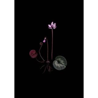 Cyclamen Coum Botanical Photograph by Francesca Wilkinson For Sale