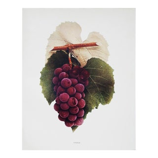 Antique Lucile Grapes Photogravure by U.P. Hedrick