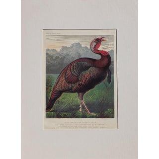 Wild American Turkey, C. 1880