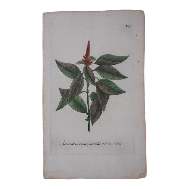 Circa 1740 Johann Weinmann Botanical Mezzotint Print For Sale
