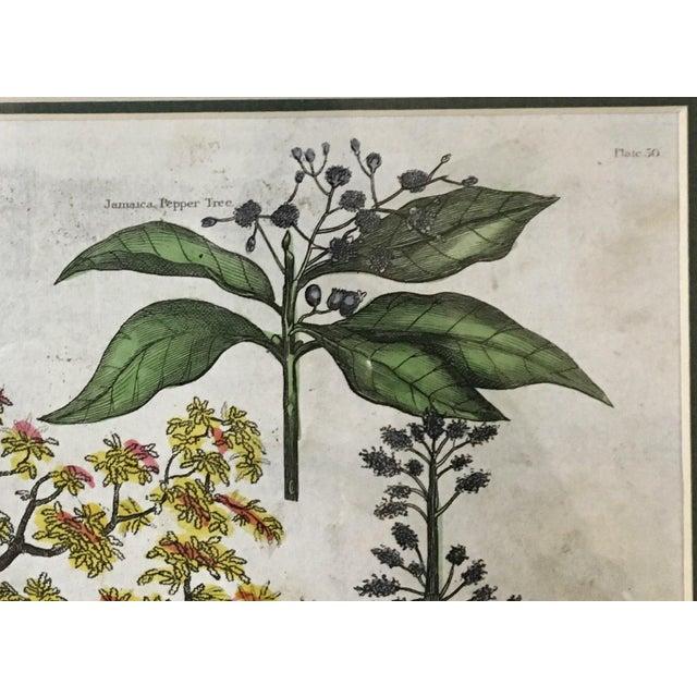 English Botanical Lithograph - Image 4 of 5