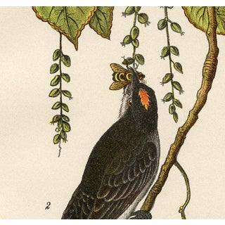 King Bird, 1880s Lithograph Preview
