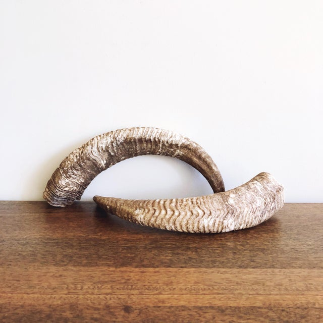Bone Vintage Natural Ram's Horns - a Pair For Sale - Image 7 of 7