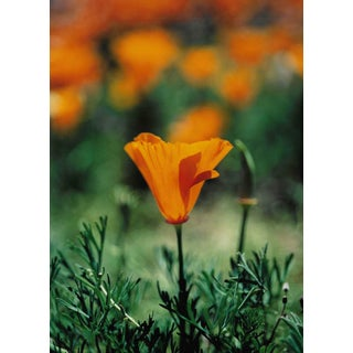 Poppy Still Life Color Photo by Garo For Sale