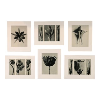 Botanical Photogravures by Karl Blossfeldt, Set of Six