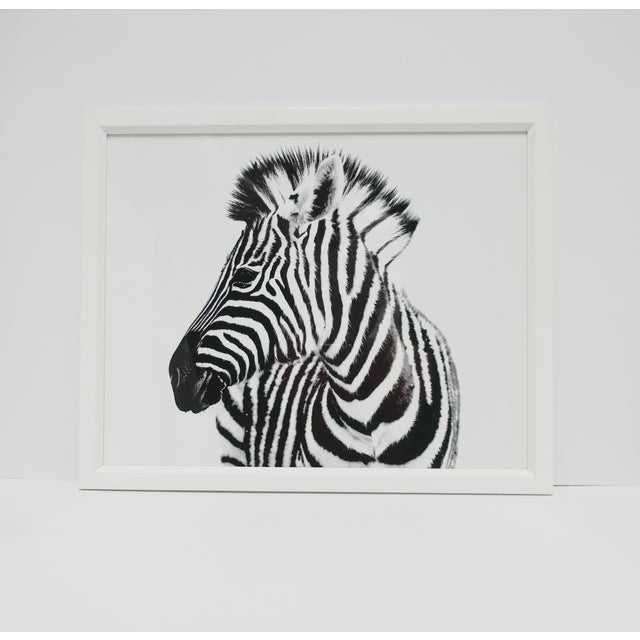 English Black and White Zebra Animal Photo Print With White Frame For Sale - Image 4 of 9