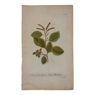 Circa 1740 Johann Weinmann Botanical Mezzotint For Sale