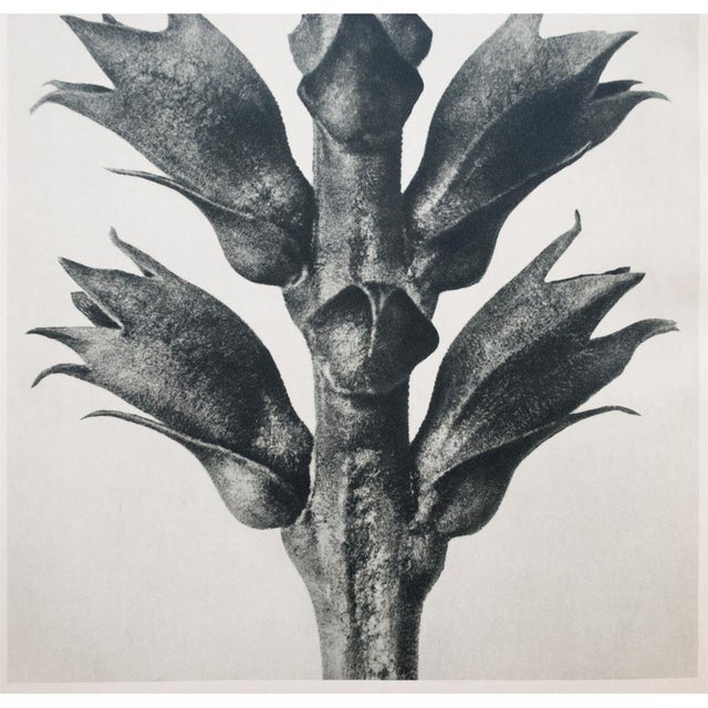 1935 Karl Blossfeldt Photogravure For Sale - Image 4 of 12