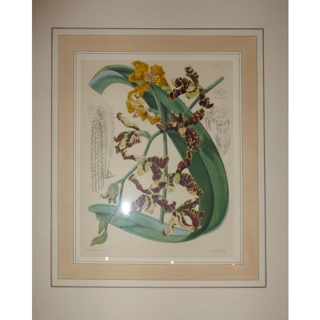 Hand Colored Orchid Engravings - Set of 4 - Image 4 of 5