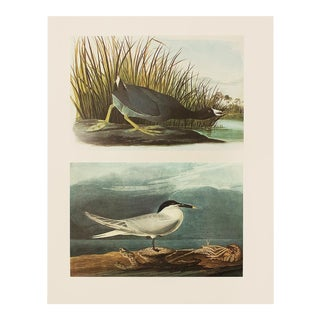 1966 American Coot & Sandwich Tern by John James Audubon For Sale
