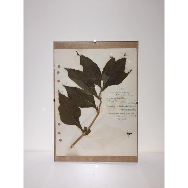Vintage Horse Gentian Botanical Journal Page - Image 2 of 5