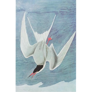 1966 Cottage Lithograph of Common Tern by John James Audubon For Sale