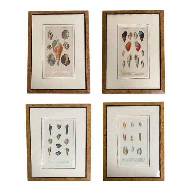 Antique French Mollusk Seashell Engravings - Set of Four For Sale