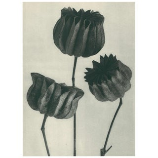 1928 Contemporary Original Photogravure by Karl Blossfeldt - N103 For Sale