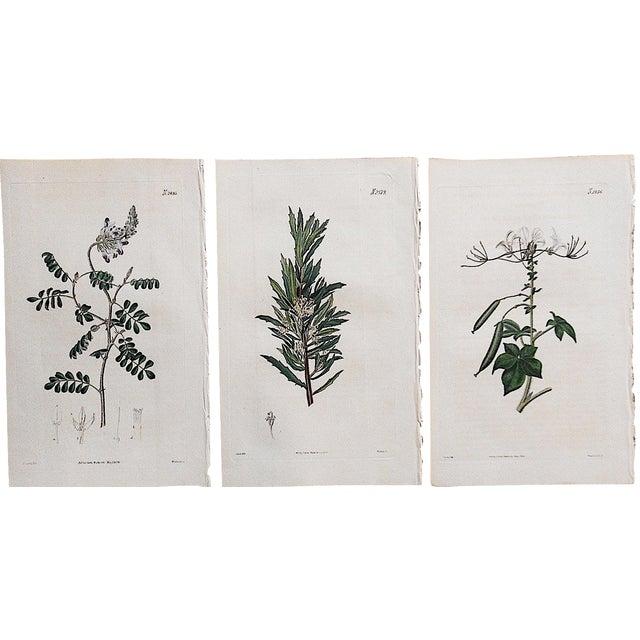 Antique Botanical Engravings - Set of 3 - Image 1 of 3
