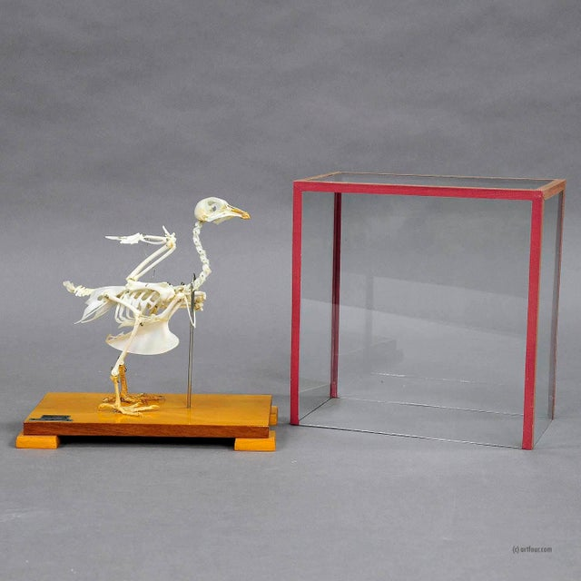 Mid 20th Century Vintage Pigeon Skeleton Model For Class Circa 1950 For Sale - Image 5 of 7