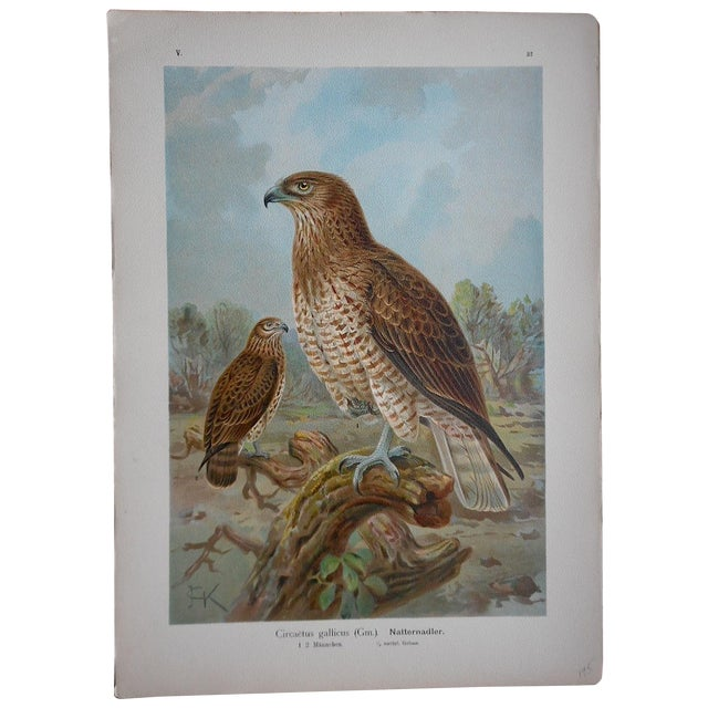 Antique Lithograph Birds of Prey-Large Folio For Sale