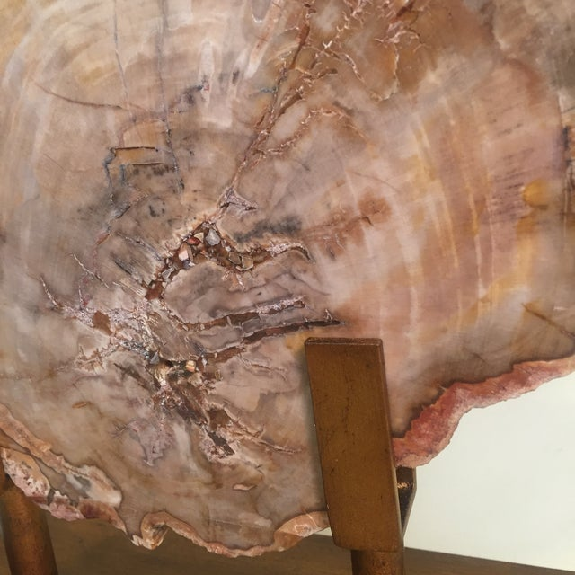 Petrified Wood Tree Slice on Museum Stand For Sale - Image 4 of 8