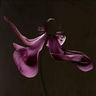 "Carsten Witte ""Anemone"" #2 of 5 Photograph For Sale"