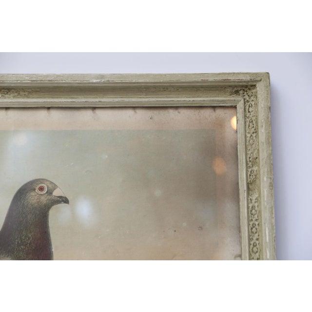 Belgian Belgian Colored Framed Pigeon Engraving For Sale - Image 3 of 7