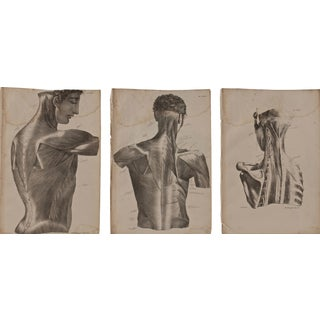 Large Set of 3 19th Century Male Anatomy Musculature Prints For Sale