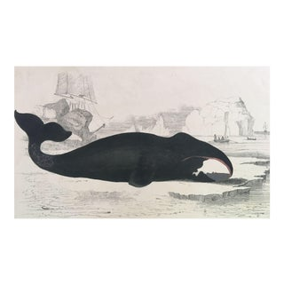 19th Century Oliver Goldsmith True Whale Engraving