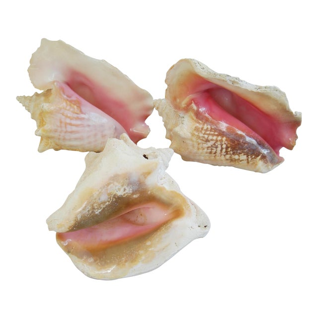 Large Natural Conch Seashells - Set of 3 For Sale