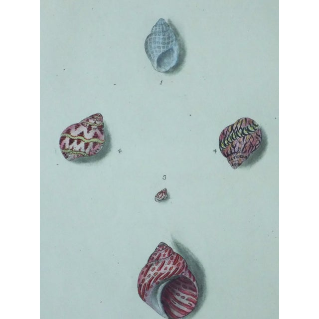 Turbo Shell Prints, 1803 - A Pair - Image 6 of 7