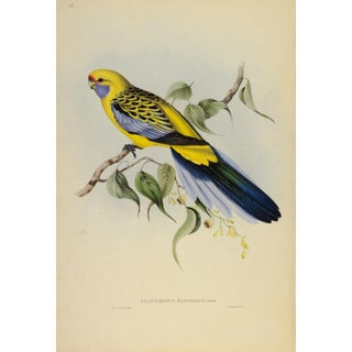 John Gould Print, Yellow-Rumped Parakeet Plate 25 - Hill House Ed. For Sale