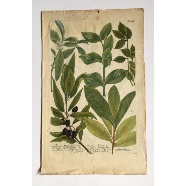 Mid 18th Century Antique Johann Wilhelm Weinmann Olive Branches Print For Sale - Image 10 of 11