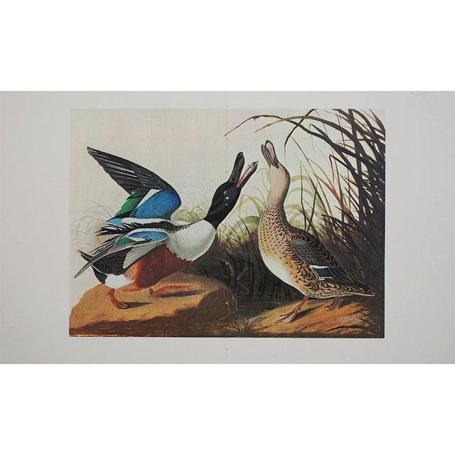 1960s 1966 Vintage Lithograph of Shoveller Duck For Sale - Image 5 of 6
