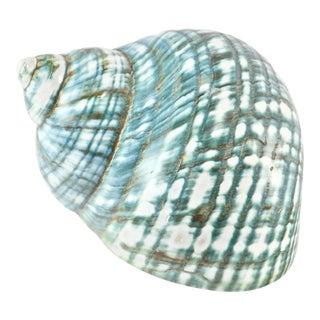 Aqua-Green Turbo Seashell For Sale